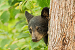 wildlife;bear;bears;black-bear;Ursus-americanus;Northern-NH;NH;Cub;peekaboo;tree;D5