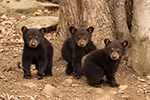 wildlife;bear;bears;black-bear;Ursus-americanus;Northern-NH;NH;Cubs;D5