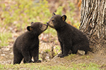 wildlife;bear;bears;black-bear;Ursus-americanus;Kiss;Tree;Northern-NH;NH;Cubs;D5