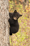 wildlife;bear;bears;black-bear;Ursus-americanus;Tree;Northern-NH;NH;Cub;D5