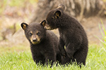 wildlife;bear;bears;black-bear;Ursus-americanus;Tree;Northern-NH;NH;Cubs;D5