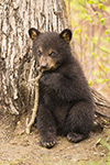 wildlife;bear;bears;black-bear;Ursus-americanus;Tree;coy;Northern-NH;NH;Cub;D4s
