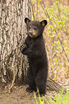 wildlife;bear;bears;black-bear;Ursus-americanus;Tree;standing;Northern-NH;NH;Cub;D5