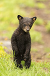 wildlife;bear;bears;black-bear;Ursus-americanus;Cub;Wet;Northern-NH;NH