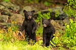 wildlife;bear;bears;black-bear;Ursus-americanus;Cubs;Wet;Northern-NH;NH