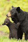 wildlife;bear;bears;black-bear;Ursus-americanus;Northern-NH;NH;Cub;kiss;kissing;D5