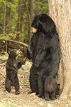 wildlife;bear;bears;black-bear;Ursus-americanus;Northern-NH;NH;Cubs;Standing;D5