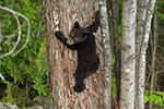 wildlife;bear;bears;black-bear;Ursus-americanus;Sugar-Hill;NH;Cub;climbing;D4s