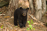 wildlife;bear;bears;black-bear;Ursus-americanus;Sugar-Hill;NH;Cub;tree;D4s