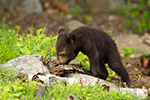 wildlife;bear;bears;black-bear;Ursus-americanus;Sugar-Hill;NH;Cubs;cub;D4s