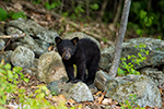 wildlife;bear;bears;black-bear;Ursus-americanus;Sugar-Hill;NH;Cub;rocks;D4s