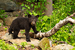 wildlife;bear;bears;black-bear;Ursus-americanus;Sugar-Hill;NH;Cub;D4s