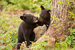 wildlife;bear;bears;black-bear;Ursus-americanus;Sugar-Hill;NH;Cubs;D4s