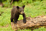 wildlife;bear;bears;black-bear;Ursus-americanus;Sugar-Hill;NH;Cub;climbing;log;D4s
