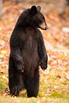 wildlife;bear;bears;black-bear;Ursus-americanus;Sugar-Hill;NH;Cub;fall;foliage;D4s