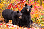 wildlife;bear;bears;black-bear;Ursus-americanus;Sugar-Hill;NH;Cub;foliage;D4s