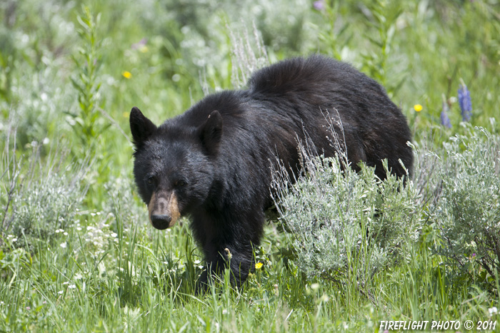 wildlife;bear;bears;black bear;Ursus americanus;Yellowstone NP;WY;Wyoming;D3X