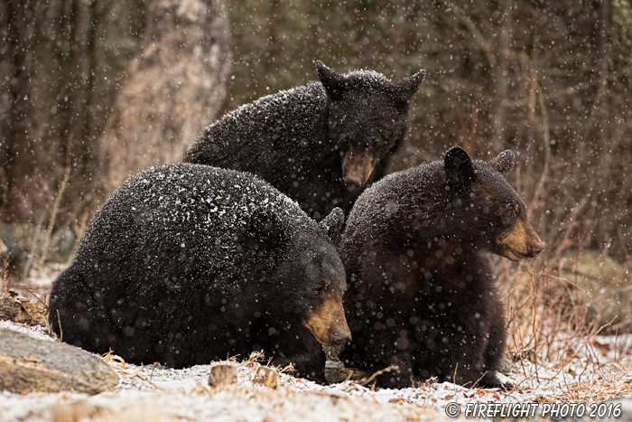 wildlife;bear;bears;black bear;Ursus americanus;Sugar Hill;NH;Cubs;snow;snowstorm;D5