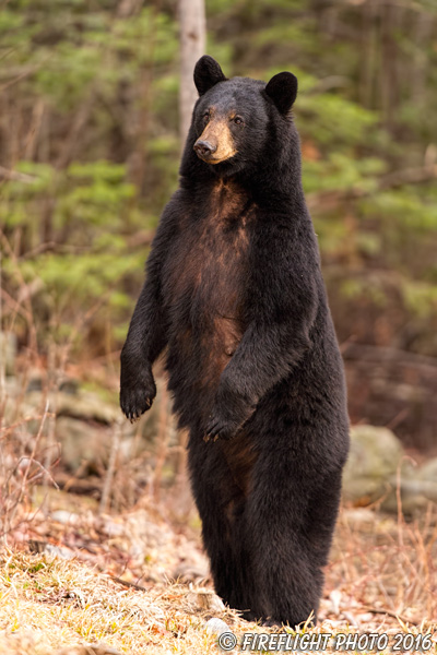 wildlife;bear;bears;black bear;Ursus americanus;Sugar Hill;NH;standing;grass;D4s
