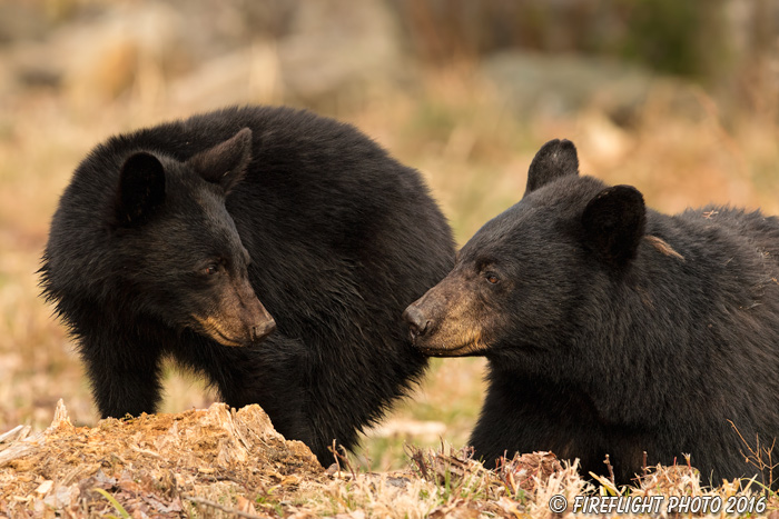 wildlife;bear;bears;black bear;Ursus americanus;Northern NH;NH;Cubs;Cub;April;D5