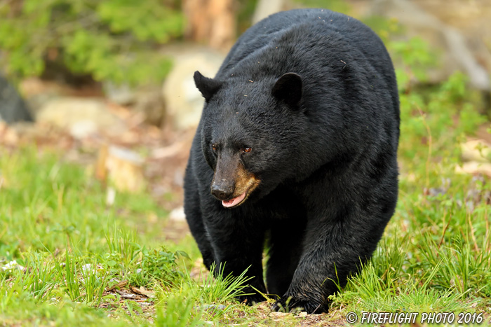 wildlife;bear;bears;black bear;Ursus americanus;Male;Northern NH;NH;grass;D5