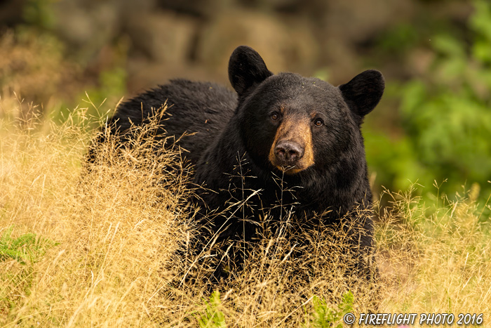 wildlife;bear;bears;black bear;Ursus americanus;Grass;Portrait;Northern NH;NH;D5