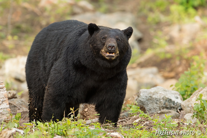 wildlife;bear;bears;black bear;Ursus americanus;Sugar Hill;NH;boar;rocks;D4s;600mm