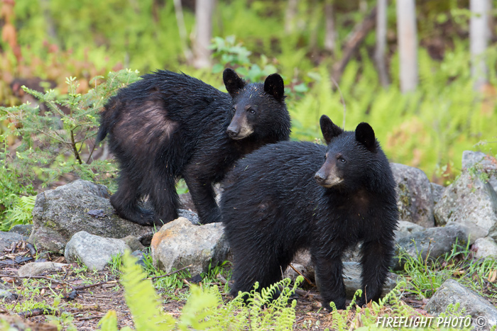 wildlife;bear;bears;black bear;Ursus americanus;Sugar Hill;NH;cub;wet;D4s;600mm