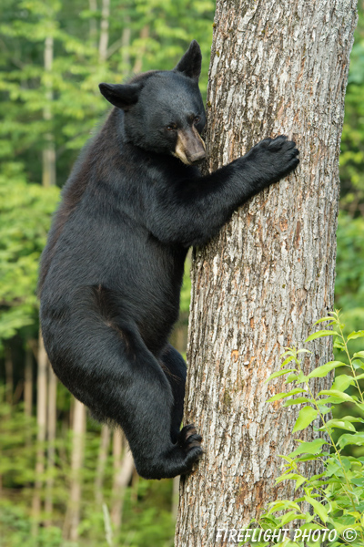 wildlife;bear;bears;black bear;Ursus americanus;Sugar Hill;NH;tree;climbing;D4s