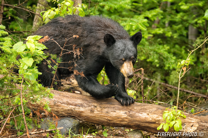 wildlife;bear;bears;black bear;Ursus americanus;Sugar Hill;NH;tree;wet;D4s;800mm