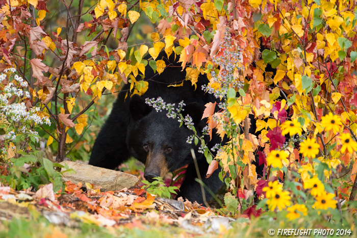 wildlife;bear;bears;black bear;Ursus americanus;Sugar Hill;NH;female;foliage;D4s;600mm