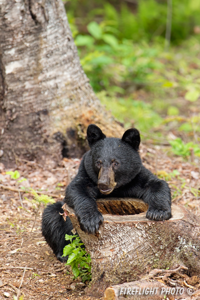 wildlife;bear;bears;black bear;Ursus americanus;Sugar Hill;NH;hollow stump;stump;D4