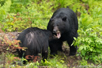 wildlife;bear;bears;black-bear;Ursus-americanus;Sugar-Hill;NH;male;courting;D4s;600mm