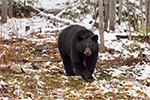 wildlife;bear;bears;black-bear;Ursus-americanus;Sugar-Hill;NH;Snow;D4s