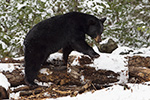 wildlife;bear;bears;black-bear;Ursus-americanus;Sugar-Hill;NH;Snow;D4