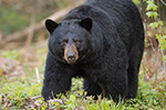 wildlife;bear;bears;black-bear;Ursus-americanus;Sugar-Hill;NH;grass;D4