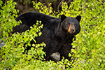 wildlife;bear;bears;black-bear;Ursus-americanus;Sugar-Hill;NH;leaves;D4s