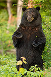 wildlife;bear;bears;black-bear;Ursus-americanus;Sugar-Hill;NH;tree;standing;D4s;600mm