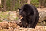 wildlife;bear;bears;black-bear;Ursus-americanus;Sugar-Hill;NH;grass;D4s
