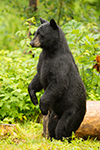 wildlife;bear;bears;black-bear;Ursus-americanus;Sugar-Hill;NH;grass;tree;wet;D4s
