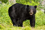 wildlife;bear;bears;black-bear;Ursus-americanus;Sugar-Hill;NH;boar;rocks;D4s;600mm