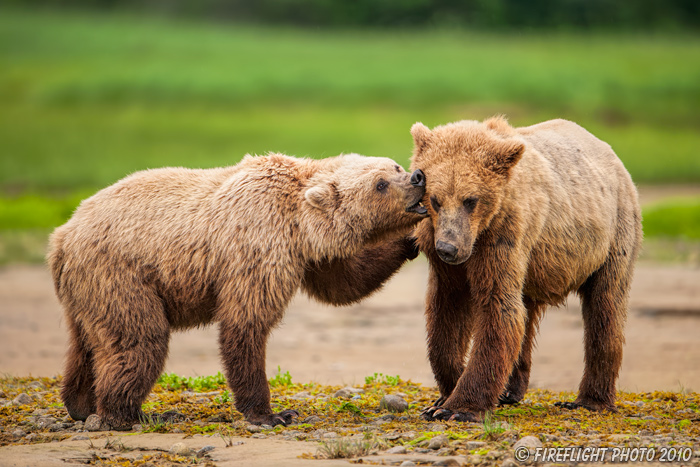 wildlife;Bear;Grizzly Bear;Brown Bear;Coastal Bear;Ursus Arctos;Fighting;Katmai NP;Kukak Bay;D3X