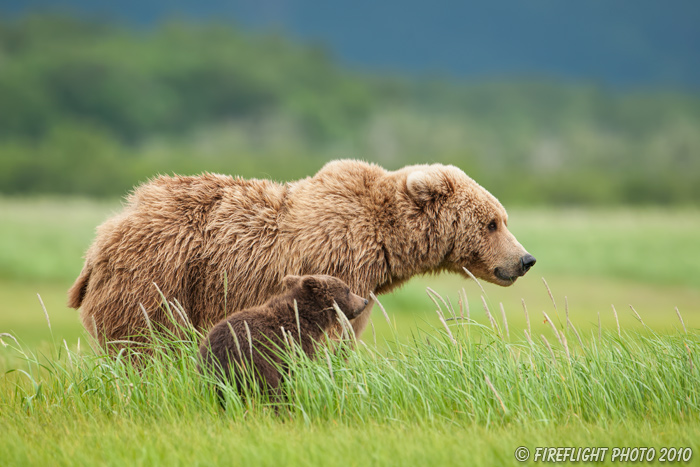 wildlife;Bear;Grizzly Bear;Brown Bear;Coastal Bear;Ursus Arctos;Cub;Katmai NP;Hallo Bay;D3X