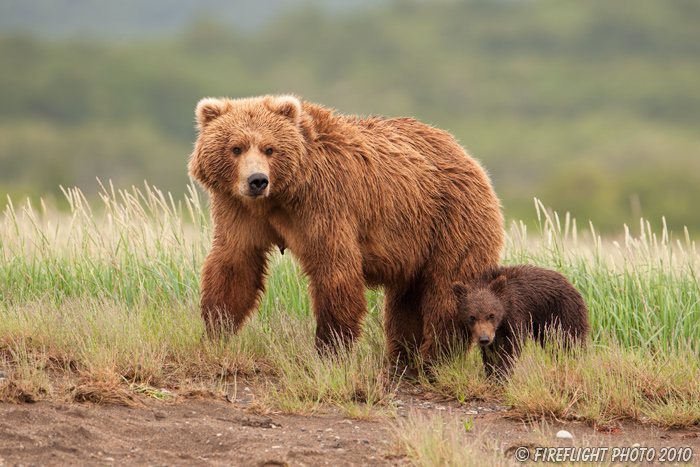 wildlife;Bear;Grizzly Bear;Brown Bear;Coastal Bear;Ursus Arctos;Cub;Katmai NP;Hallo Bay