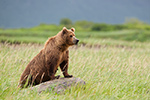 wildlife;Bear;Grizzly-Bear;Brown-Bear;Coastal-Bear;Ursus-Arctos;Katmai-NP;Sow;Hallo-Bay