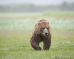 wildlife;Bear;Grizzly-Bear;Brown-Bear;Coastal-Bear;Ursus-Arctos;Katmai-NP;Hallo-Bay
