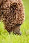 wildlife;Bear;Grizzly-Bear;Brown-Bear;Coastal-Bear;Ursus-Arctos;Head-Shot;Katmai-NP;Hallo-Bay