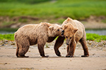 wildlife;Bear;Grizzly-Bear;Brown-Bear;Coastal-Bear;Ursus-Arctos;Fighting;Katmai-NP;Kukak-Bay;D3X