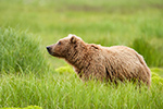 wildlife;Bear;Grizzly-Bear;Brown-Bear;Coastal-Bear;Ursus-Arctos;Katmai-NP;Kukak-Bay