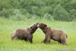wildlife;Bear;Grizzly-Bear;Brown-Bear;Coastal-Bear;Ursus-Arctos;Fighting;Katmai-NP;Kukak-Bay